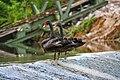 Black Swans (81116993).jpeg