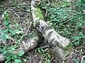Black fungus on fallen birch, Dyrham Wood (2) - geograph.org.uk - 479087.jpg