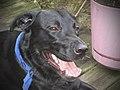 Black hunting dog smiling.jpeg
