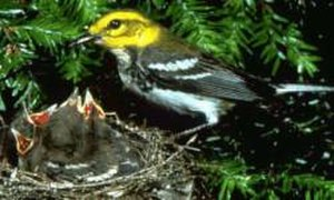 Black-throated green warbler - Black-throated green warbler with chicks