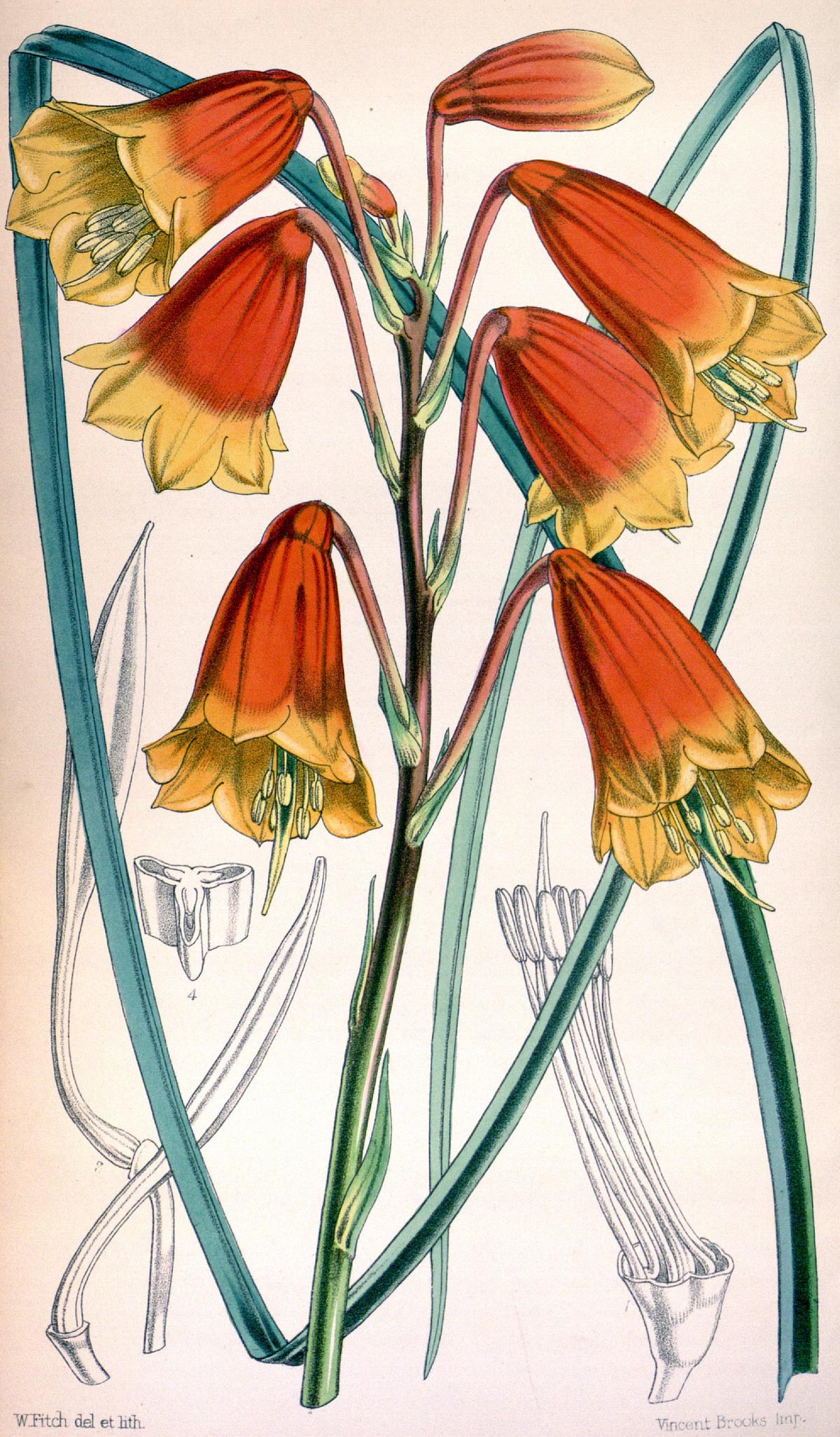 Blandfordiaceae – Wikipedia, wolna encyklopedia