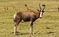 Blesbok, Damaliscus pygargus phillipsi, at Krugersdorp Game Reserve, Gauteng, South Africa (26874457623).jpg