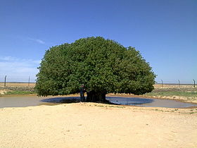 Blessed tree in Jordan.jpg