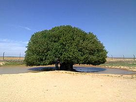 شجرة الحياة ( الأردن ) 280px-Blessed_tree_in_Jordan