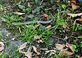 Blindschleiche im Garten in Fellbach am Kappelberg.jpg