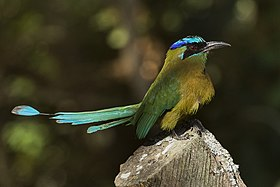 Blue-crowned Motmot - Zamora Estate - Costa Rica MG 5706 (26651359986).jpg
