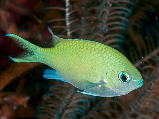 Green chromis is a great beginner saltwater fish