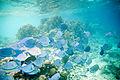Blue tang Acanthurus coeruleus (2414876838).jpg