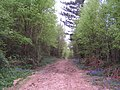 Bluebells by the track in the Great Wood - geograph.org.uk - 167061.jpg