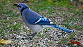 Bluejay (Cyanocitta cristata).jpg