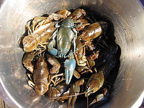Description de l'image Bluish-crayfish sun FI-EU 2007-Aug-15 by-RAM.JPG.