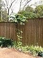 Bocconia frutescens L. (AM AK353931-4).jpg