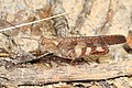 Boll's Grasshopper - Spharagemon bolli, Prince William Forest Park, Triangle, Virginia - 28570736714.jpg