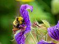 Bombus pratorum on geranium 2014 02.jpg