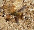 Bombyliidae. Beefly (39855588351).jpg