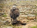 Bonellis eagle grey junglefowl kill DSCN8963.jpg