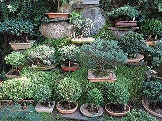 "Bonsai (盆栽, ""tray gardening"", in Japanese) pic. ao1.jpg"