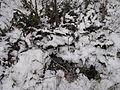 Boreč (České středohoří), kapradí ve sněhu.jpg