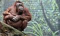 Bornean Orangutan mother and baby, Seneca Park Zoo.JPG