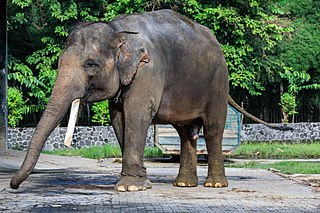 Sumatran elephant subspecies of mammal