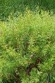 Boronia heterophylla kz02.jpg