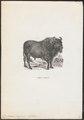 Bos bison europaeus - 1700-1880 - Print - Iconographia Zoologica - Special Collections University of Amsterdam - UBA01 IZ21200157.tif