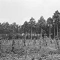 Bosaanleg en kwekerij, herbebossing, beuk, lariks, Bestanddeelnr 165-0390.jpg