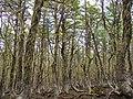 Bosque de Lengas Reserva Nacional Coyhaique 06.jpg
