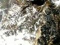 File:Botóns himanthalia elongata 02.ogv