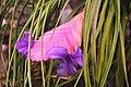Botanischer Garten der Universität Zürich - Tillandsia cyanea (Bromeliaceae) 2010-09-16 15-52-58.jpg