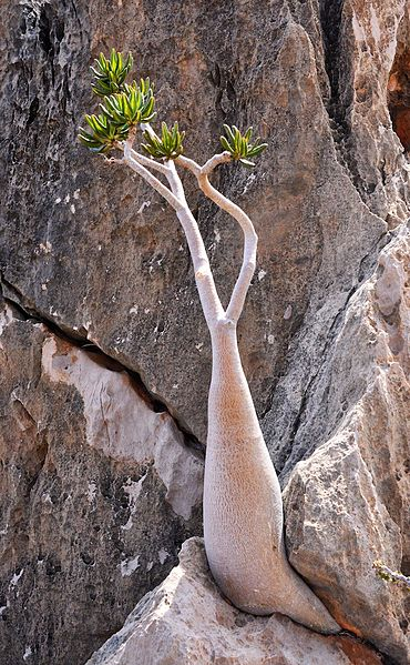 File:Bottle Tree, Socotra Island (15454942190).jpg