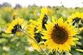 Bowden Sun Maze (38288642342).jpg