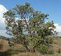Brachylaena rotundata, habitus, Phalandingwe.jpg