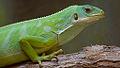 Brachylophus fasciatus -Warsaw Zoo, Poland-8a.jpg