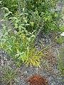 Brachypodium sylvaticum (Huds.) P.Beauv. (AM AK302478-2).jpg