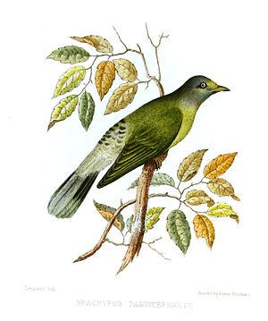 "Grey-headed bulbul - ""Brachypus parvicephalus"" from Jerdon's Illustrations of Indian Ornithology (1847)"