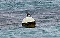 Bridled Tern (Onychoprion anaethetus) (31246454531).jpg