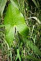 Broadleaf Arrowhead (Sagittaria latifolia) (20127593266).jpg