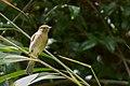 Brown-cheeded Fulvetta Fakim Pungro Nagaland India.jpg
