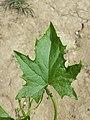 Bryonia alba sl5.jpg