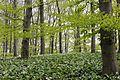 Buchen- und Bärlauchwald im südlichen Süntel im Naturpark Weserbergland Schaumburg-Hameln (file003).jpg