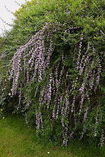 <i>Buddleja alternifolia</i> Species of plant