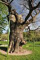 Budysche Shevchenko Oak.JPG