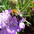 Bumblebee (Bombus pascuorum?), Sandy, Bedfordshire (7726822060).jpg