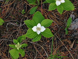 Bunchberry plants.jpg
