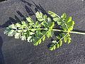 Bunium bulbocastanum RH (25).jpg
