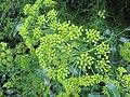 Bupleurum fruticosum by wallygrom - 001.jpg