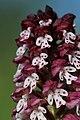 Burnt-tip Orchid - Neotinea ustulata - panoramio (57).jpg