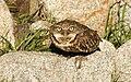 Burrowing Owl - Athene cunicularia hypugaea.jpg