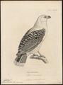 Buteo albicollis - 1700-1880 - Print - Iconographia Zoologica - Special Collections University of Amsterdam - UBA01 IZ18200061.tif